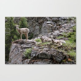 Mountain Goats in the Pass Canvas Print