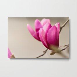 Japanese magnolia tree blossom Metal Print