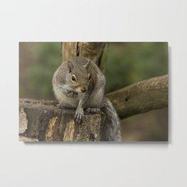 Woodland wildlife grey squirrel Metal Print
