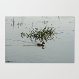 Young Duck swimming in the river Canvas Print