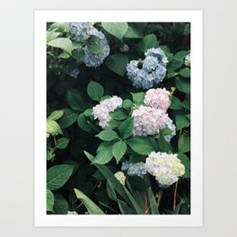 Hydrangeas in the Yard Art Print