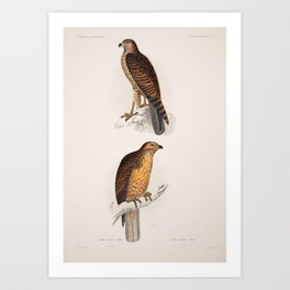buteo varius Rufous tailed Hawk6 Art Print