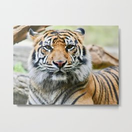 Sumatran Tiger Eye Contact Metal Print
