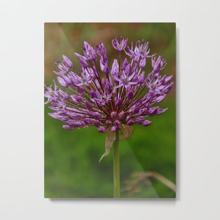 Passion for Allium Metal Print