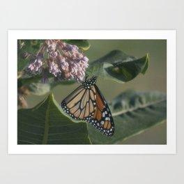 Monarch Butterfly XIV Art Print