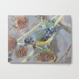Lesser Goldfinch after Sunflower Seeds Metal Print