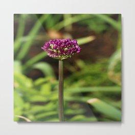 Beautiful Onion Blossom Metal Print