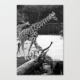 Timeless Giraffe Canvas Print