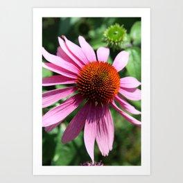 Purple Conflower Art Print