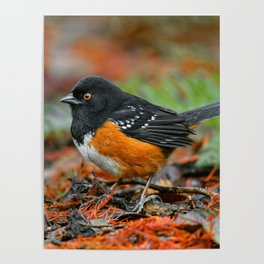Profile of a Spotted Towhee Poster