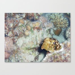 Baby Cuttlefish and Hard Coral Canvas Print