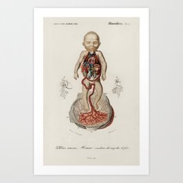 Circulation of the blood In a fetus illustrated by Charles Dessalines D' Orbigny (1806-1876). Art Print