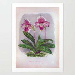 Twin Purple Orchids Vintage Cypripedium Van Houtteanum Art Print