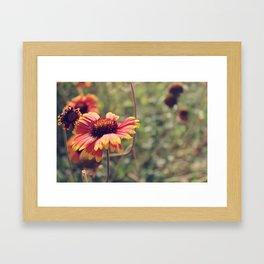 Gaillardia flower Framed Art Print