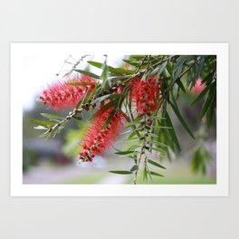 Bottlebrush Tree Art Print
