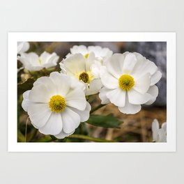 Mount Cook Lily in New Zealand Art Print