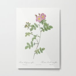 Sweetbriar also known as Rusty Rose with Three Flowers (Rosa rubiginosa triflora) from Les Roses (18 Metal Print