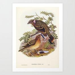 Guttated Bower-bird (Chlamydera guttata) illustrated by Elizabeth Gould (1804–1841) for John Gould's Art Print