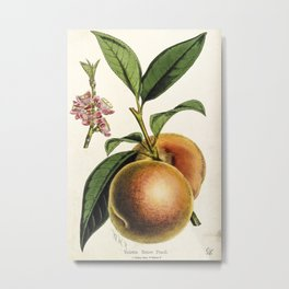 A peach plant - vintage illustration Metal Print