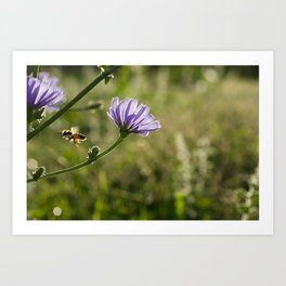 Bee flying on the Chicory flower. Art Print