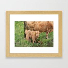 Highland Calf Framed Art Print