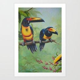 Collared Aracari Art Print