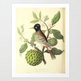 Bulbul or Indian Nightingale4 Art Print