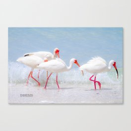 White Ibis Feeding #2 Canvas Print
