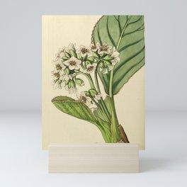 Flower 065 saxifraga ciliata Fringed Saxifrage27 Mini Art Print
