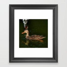 Mallard Contrasted Framed Art Print