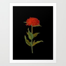Lychnis Chalcedonica Mary Delany Delicate Paper Flower Collage Black Background Floral Botanical Art Print