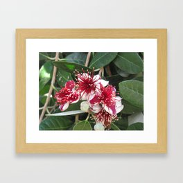 Fejoja bloom Framed Art Print