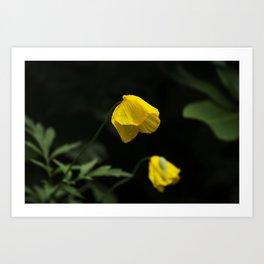 Welsh Poppy Art Print