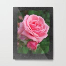 Pink Roses in Anzures 2 Blank P4F0 Metal Print