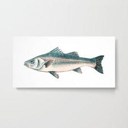 Illustration of Striped bass Metal Print