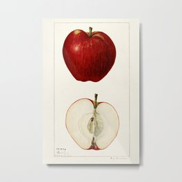 Apples (Malus Domestica) (1925) by Amanda Almira Newton Metal Print