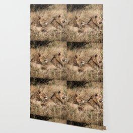 Camouflaged African Male Lions of the Kalahari Desert Wallpaper