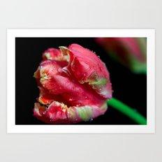 Dew Drop Tulip Art Print