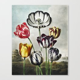Tulips from The Temple of Flora (1807) by Robert John Thornton. Canvas Print