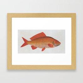 Vintage Illustration of a Goldfish (1785) Framed Art Print