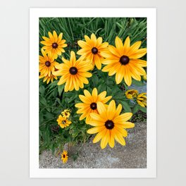 Black Eyed Susans in the Garden Art Print
