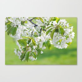 White cherry blossoms romance Canvas Print