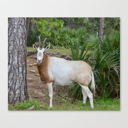 Scimitar Horned Oryx Canvas Print