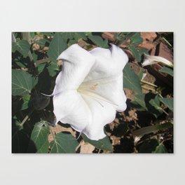 Fleur Blanche de Trompette Canvas Print