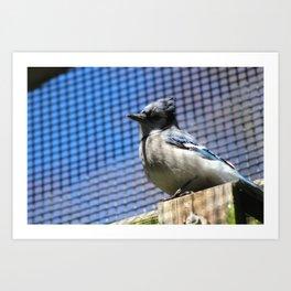 Blue Jay on a Post Art Print