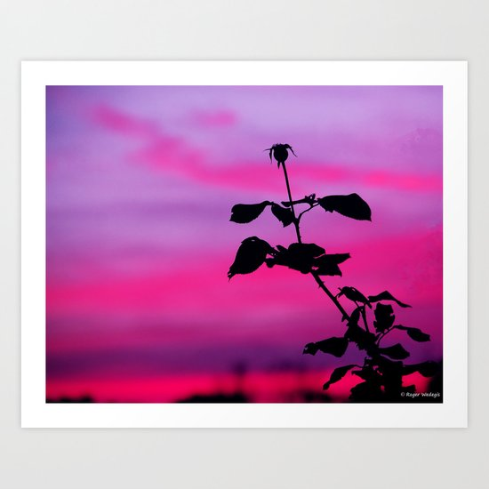 The Sunset of a Rose Art Print