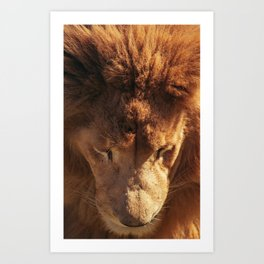 Lion from Above Art Print