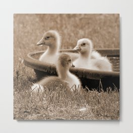 Three little goslings wildlife in the morning while drinking in the meadow in sepia Metal Print