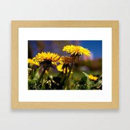 Concept flora : Dandelions in a field Framed Art Print