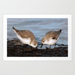 A Pair of Sanderlings Shares: A Meal is Better When Eaten Together Art Print